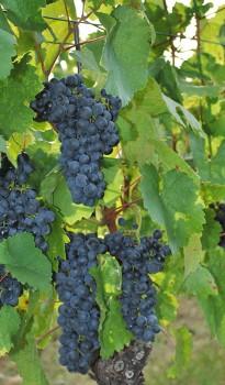 Eschenhof Weintrauben