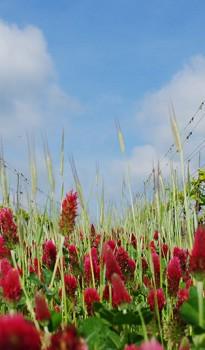 Blühender Klee im Weingarten